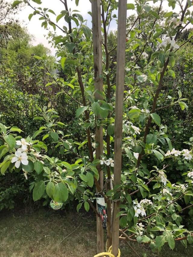 Honeycrisp in bloom